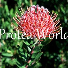protea-world-plants-online-how-to-grow-proteas-01