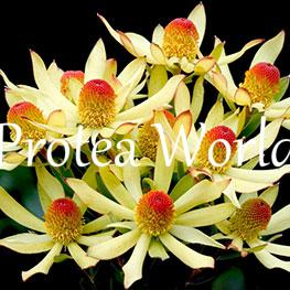 protea-world-plants-online-how-to-grow-proteas-03