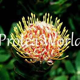 protea-world-plants-online-how-to-grow-proteas-06
