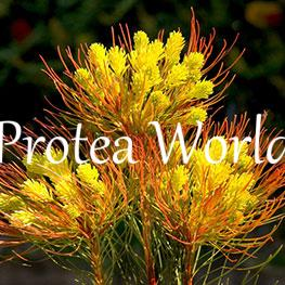protea-world-plants-online-how-to-grow-proteas-07