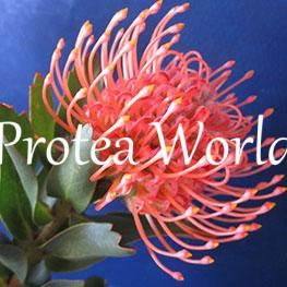 protea-world-plants-online-how-to-grow-proteas-08