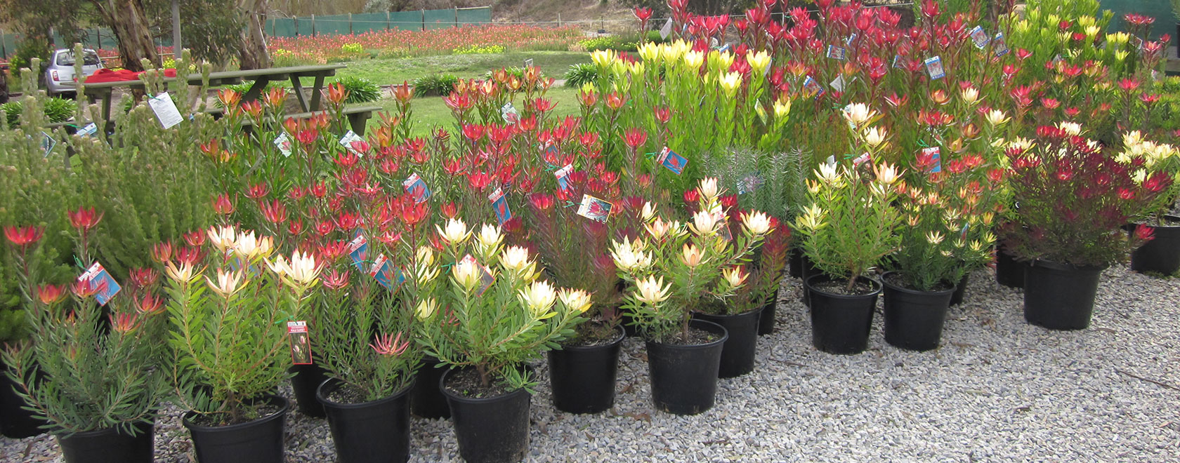 Protea world protea plants online and nursery protea for Plants to grow in garden