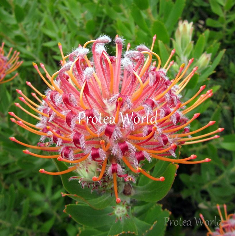 Protea World, Protea Plants Online and Nursery, Scarlet Ribbon - Protea World