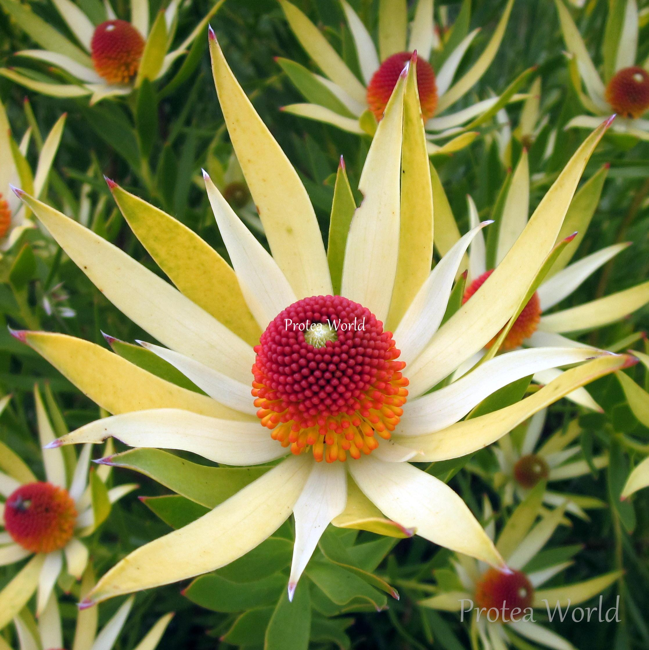 Protea World, Protea Plants Online and Nursery, Wildfire ...