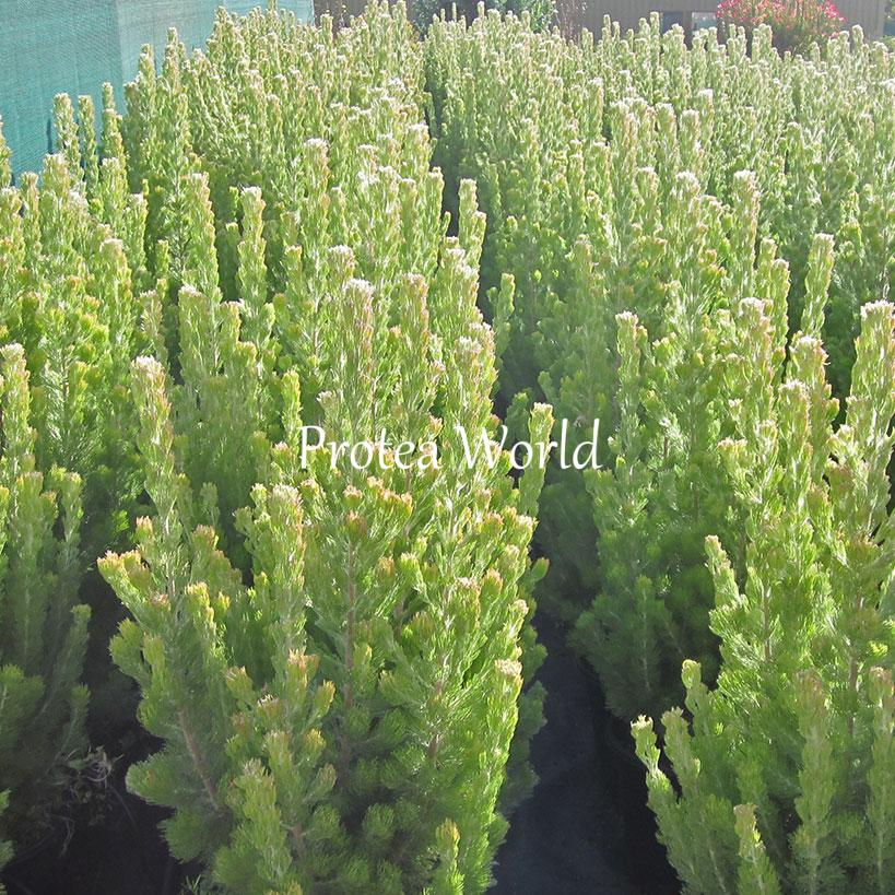 Protea world protea plants online and nursery sericeus for Plantes online