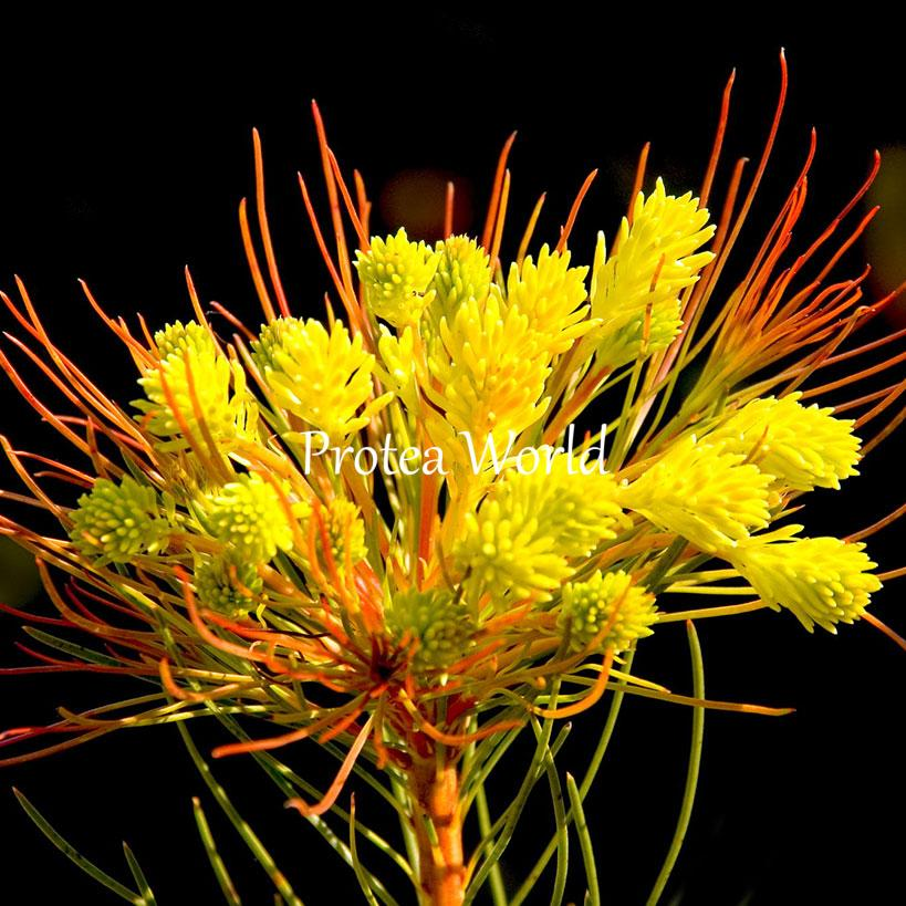Protea world protea plants online and nursery cancellata for Plantes online