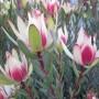 plants-online-leucadendrum-amy-301