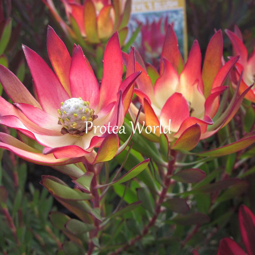 Protea world protea plants online and nursery devils for Plantes online