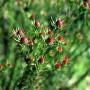 plants-online-leucadendrum-jubilee-crown-306