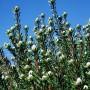 plants-online-leucadendrum-linifolium-308