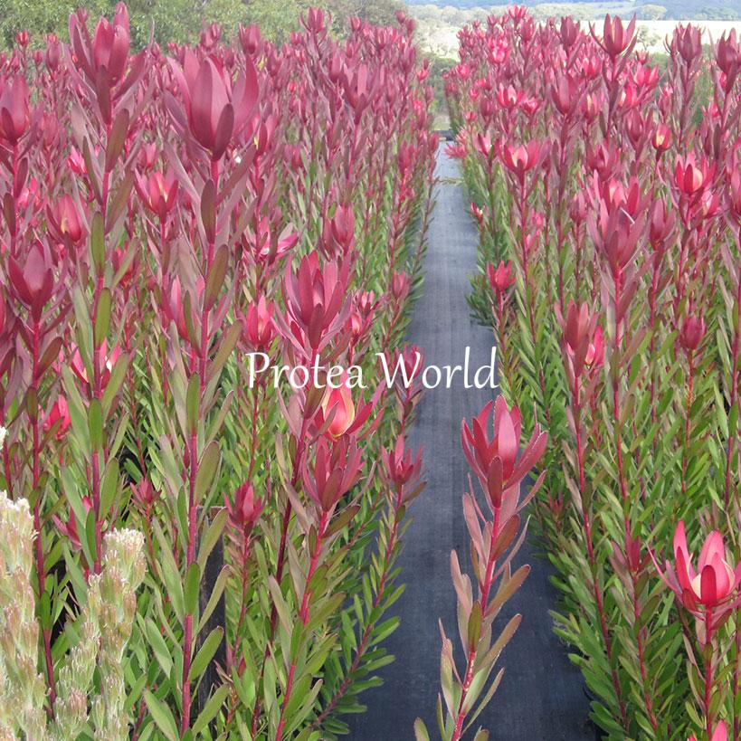 Protea world protea plants online and nursery safari for Plantes online