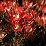 plants-online-leucadendrum-star-struck-316