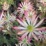 plants-online-leucadendrum-super-star-317