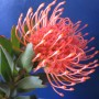 plants-online-leucospermum-cordifolium-401
