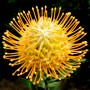 plants-online-leucospermum-moonlight-403