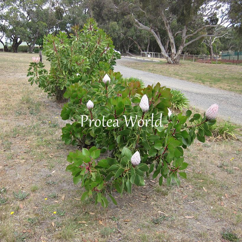 Protea world protea plants online and nursery cynaroides for Tree nursery