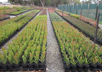 protea-world-plants-online-our-nursery-11