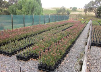 protea-world-plants-online-our-nursery-12