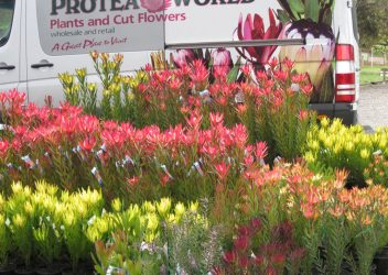 protea-world-plants-online-our-nursery-17