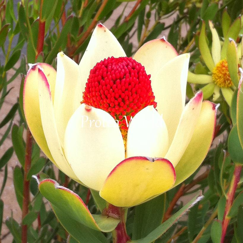 Protea world protea plants online and nursery 140mm for Plantes online
