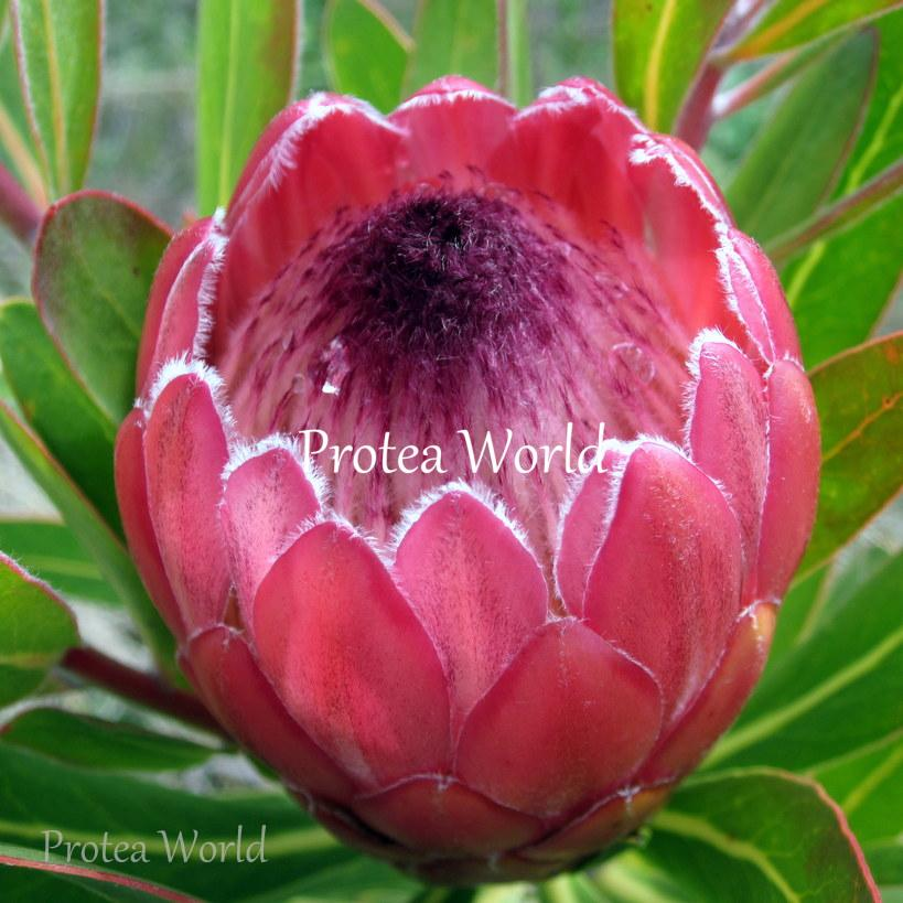 Protea World Protea Plants Online And Nursery 140mm Red