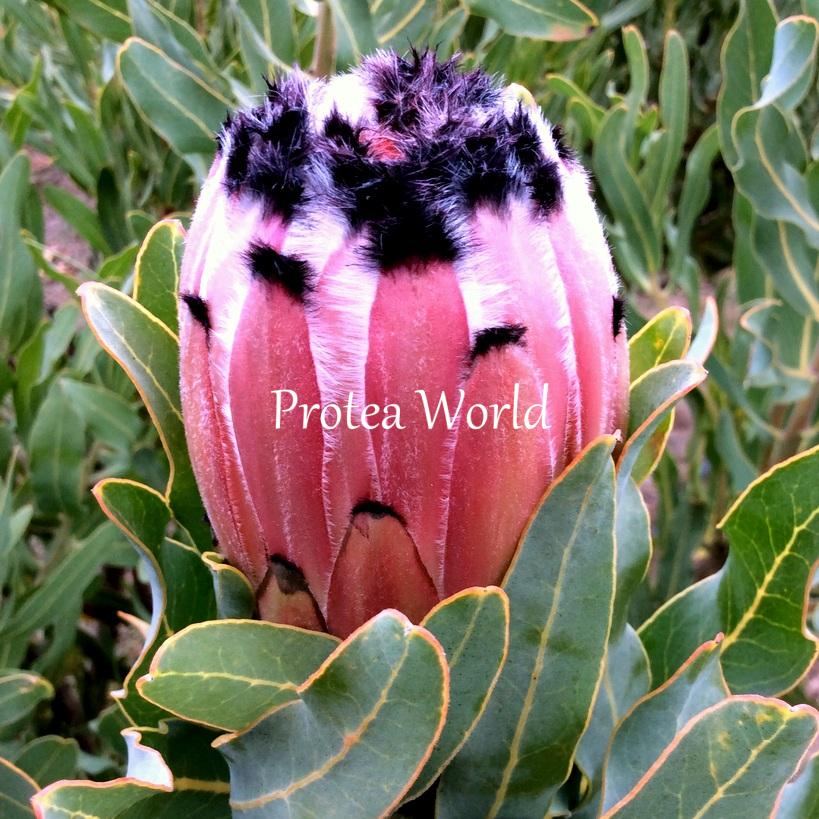 Protea world protea plants online and nursery pink mink protea world 75mm pink mink mightylinksfo